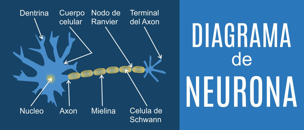 Terapia Neural, tratamiento del dolor, diagrama de neurona